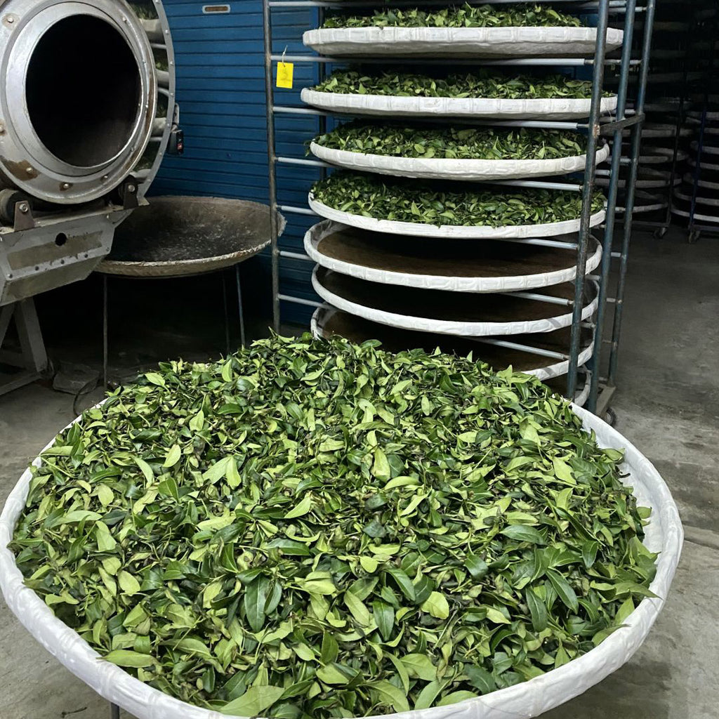 Traditional Dong Ding Oolong Tea making -indoor withering