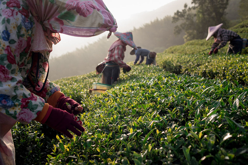 Sustainable tea farming involves privately-run farms