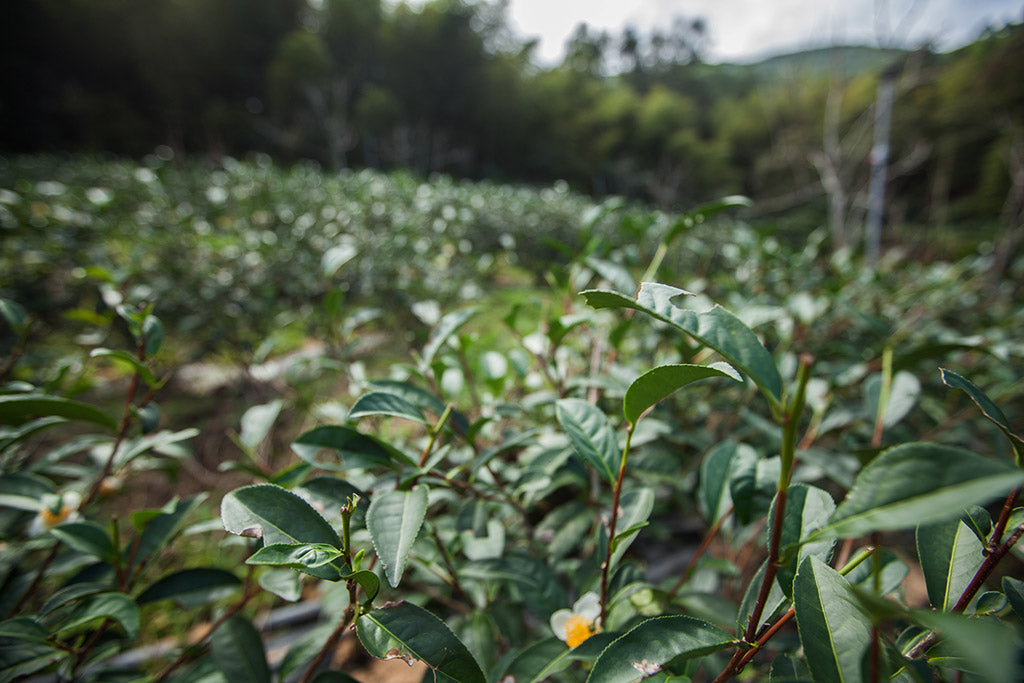 Natural tea farming methods