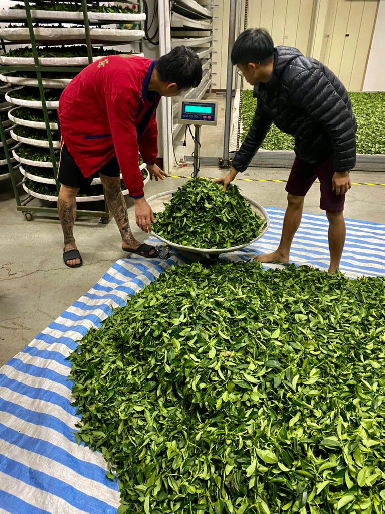 Li Shan High Mountain Oolong Tea processing: still oxidation
