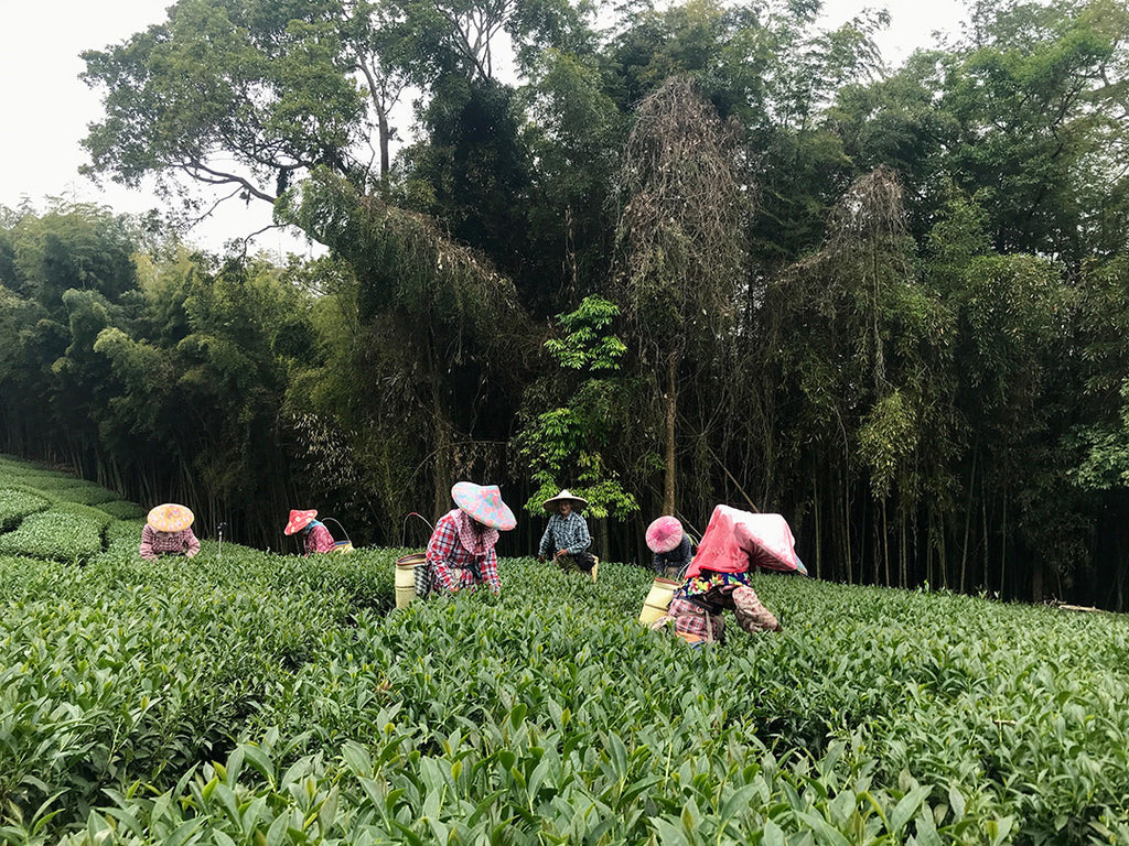 Spring tea harvest in the Alishan mountain region