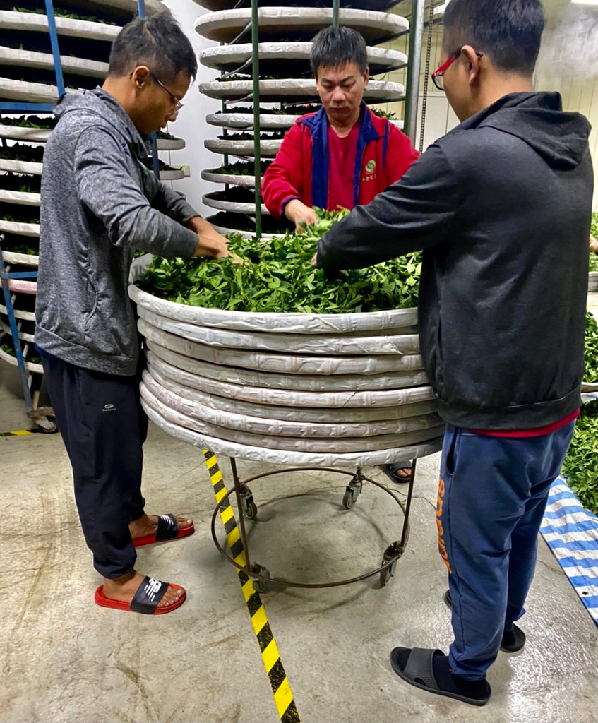 Li Shan High Mountain Oolong Tea processing: still withering