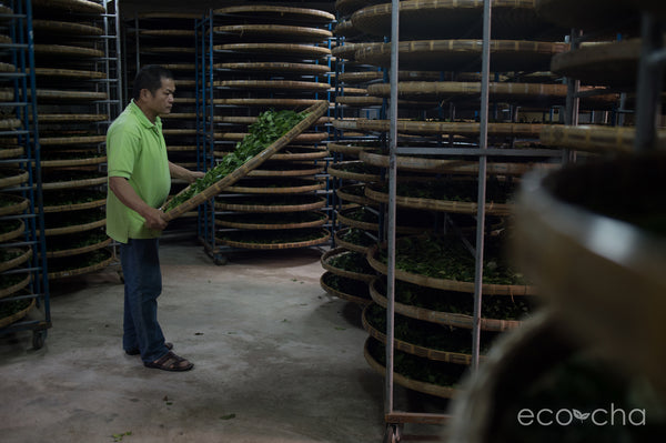 Second generation Lugu tea farmer making spring tea in his traditional, small-scale factory.