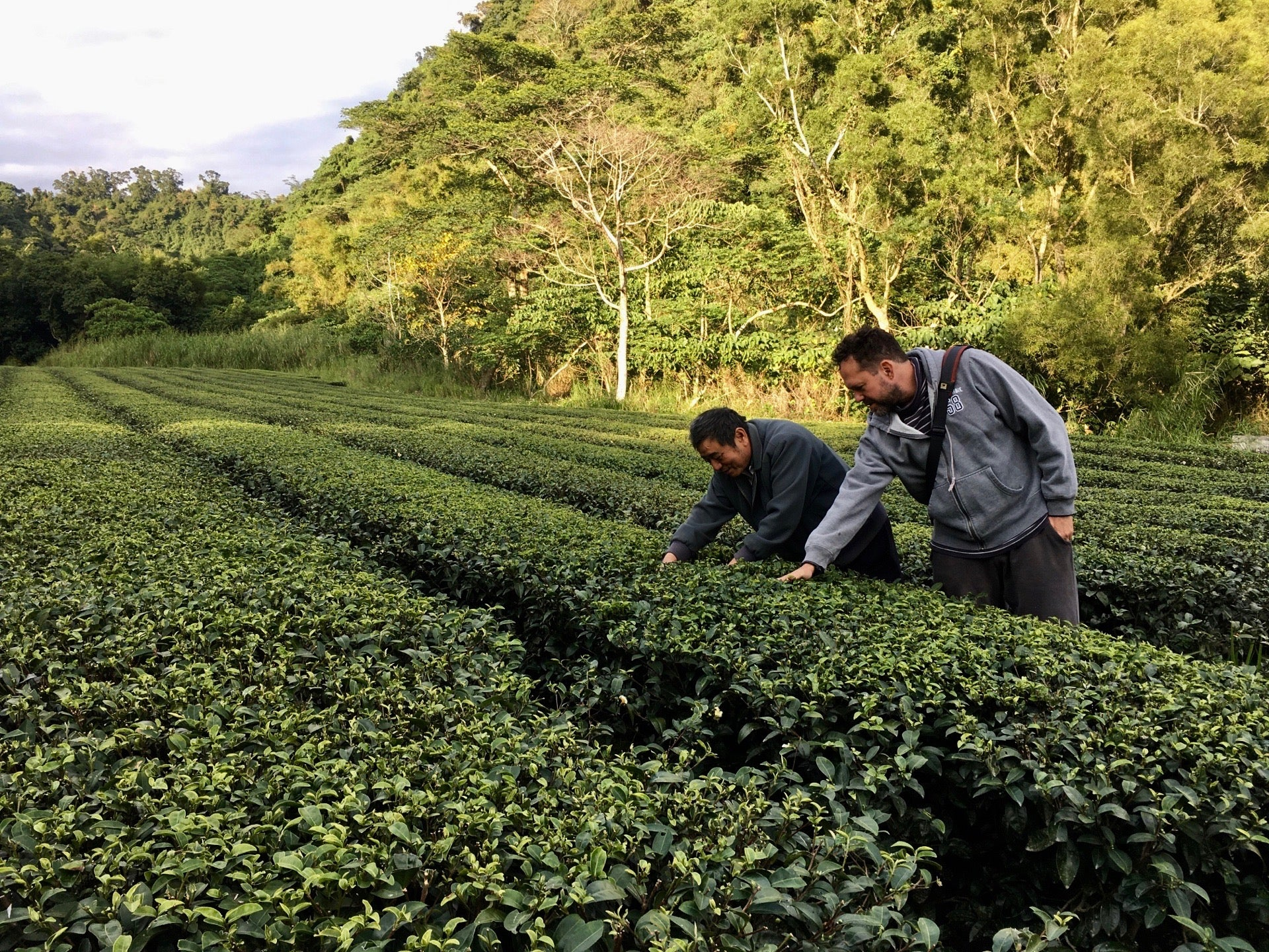 Eco-Cha's Andy Kincart looking for Green Leafhoppers on a tea farm
