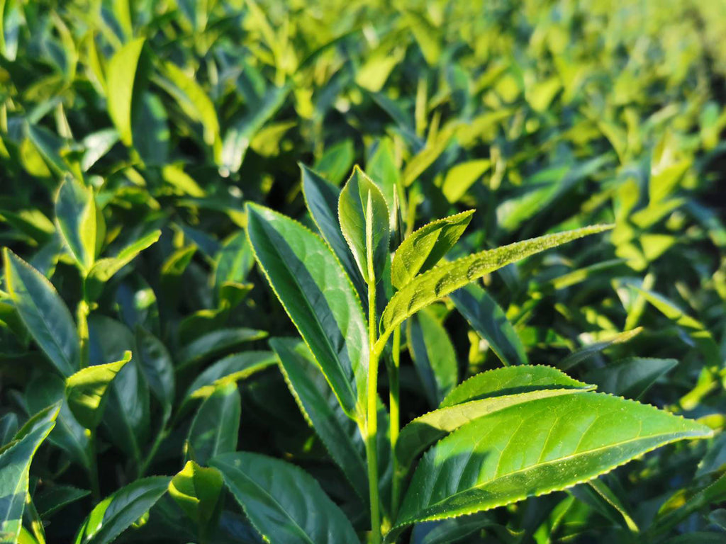 Fresh tea leaf growth on day of harvest in the Alishan high mountain tea area of Taiwan