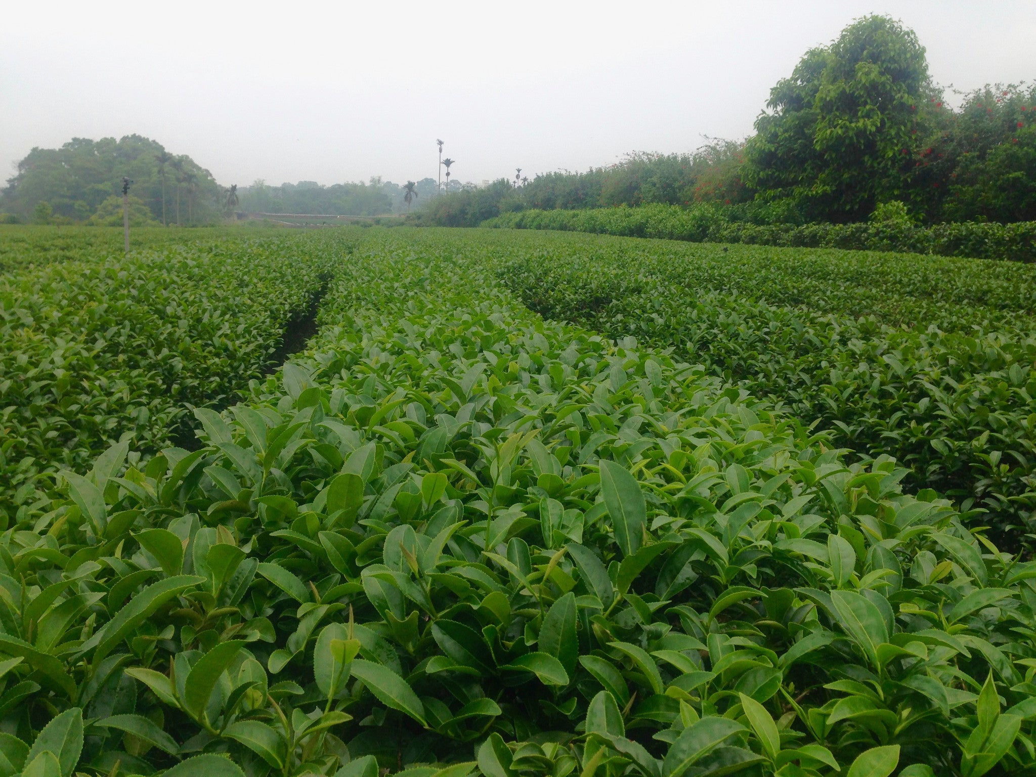 worlds primary tea producer - HD2048×1536