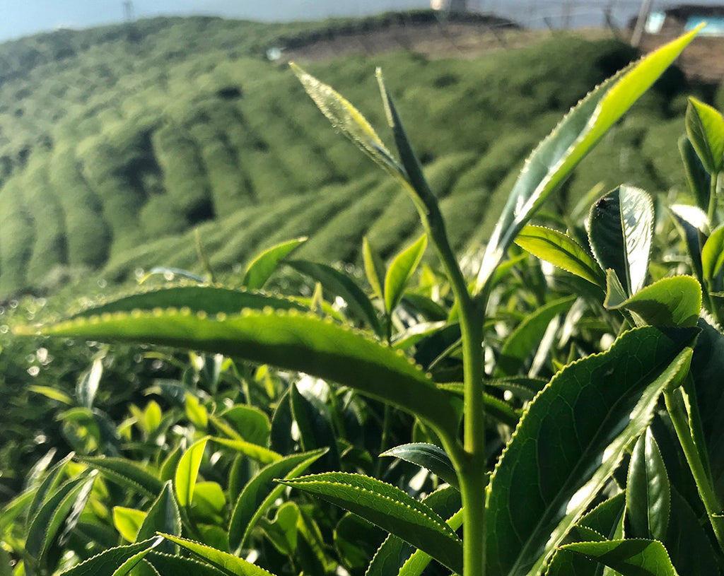 New growth on a tea plant in the Lishan high mountain tea region