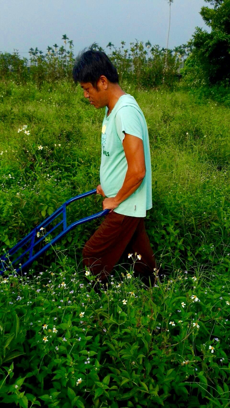 Eco-Farming methods of pushing down weeds with a hand truck
