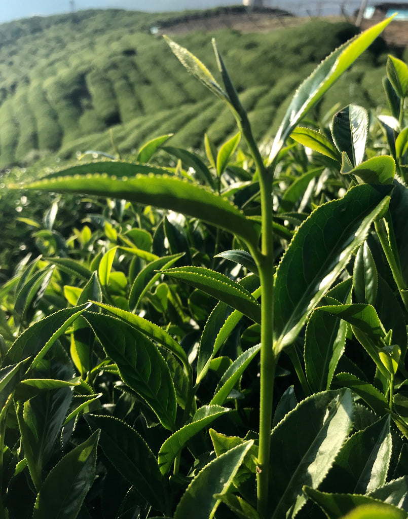 Lishan High Mountain Oolong new leaf growth ready for harvest