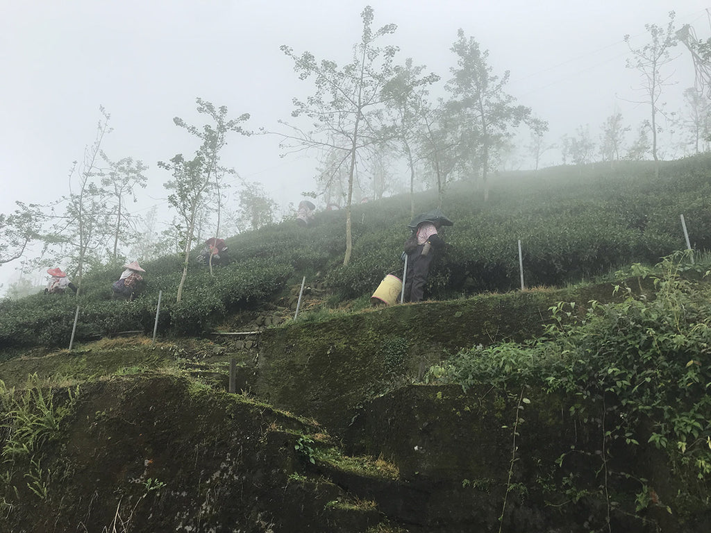 Shan Lin Xi Oolong Tea harvest