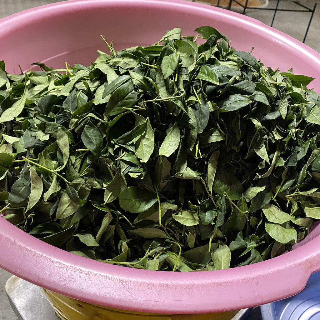 Weighing out tea leaves for processing