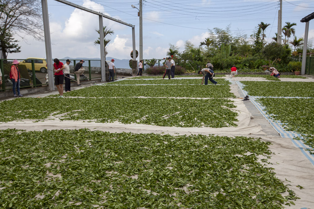 Solar withering of oolong tea leaves in Taiwan