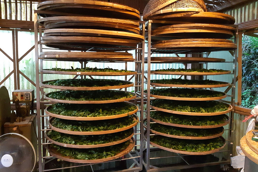 Indoor withering of tea leaves on traditional bamboo trays