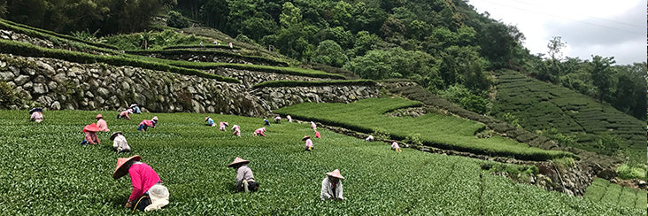 Eco-Cha Tea Club: Gold Medal Award Jin Xuan High Mountain Tea