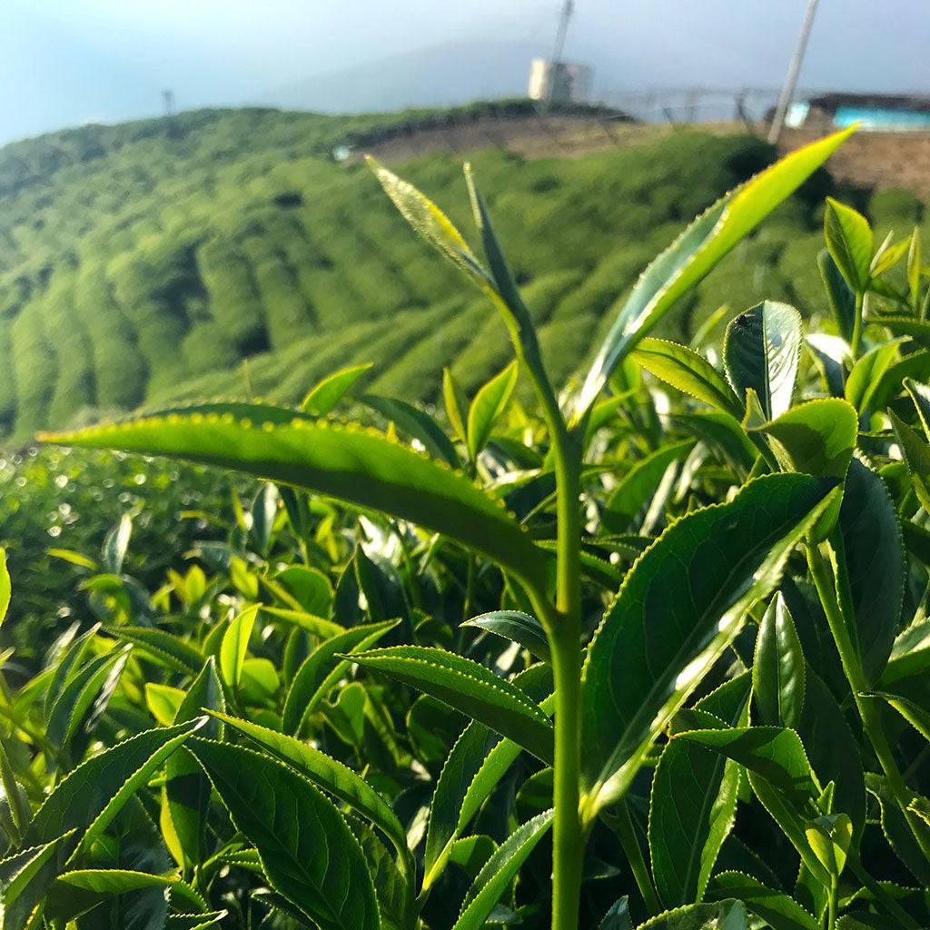 Lishan High Mountain Oolong Tea field