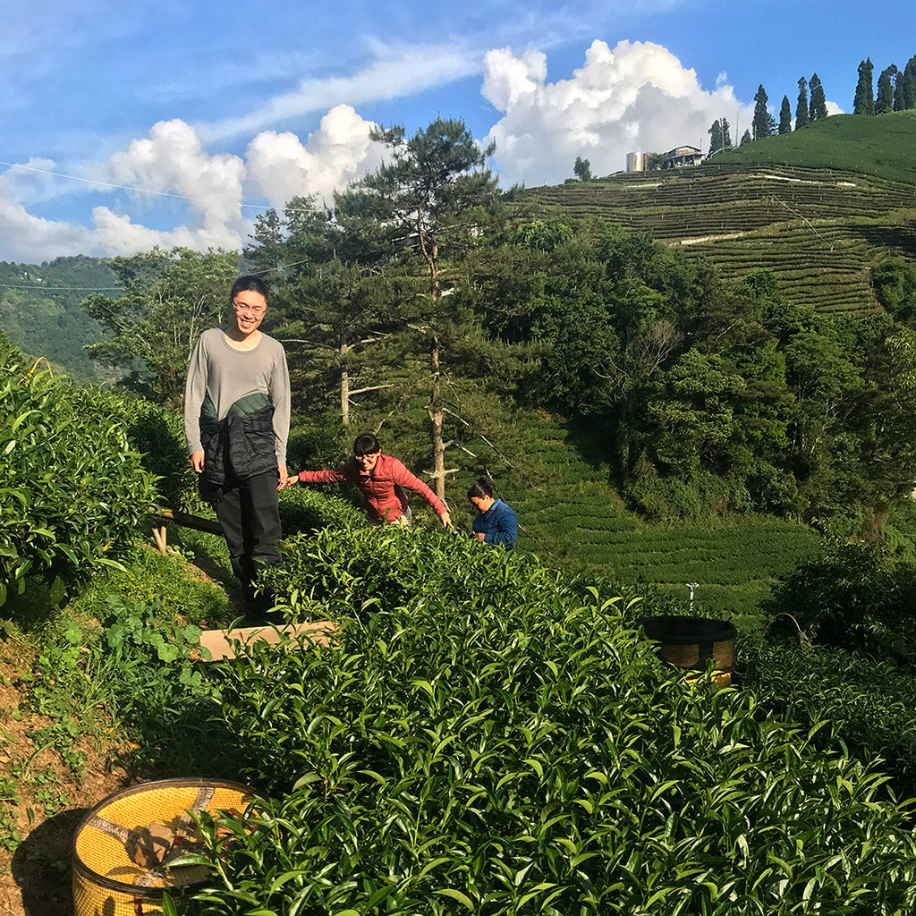Lishan High Mountain Oolong Tea harvesting