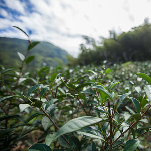 Mr. Lin's sustainable tea field