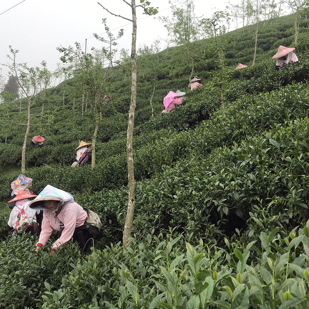 Shan Lin Xi High Mountain Oolong Tea harvesting
