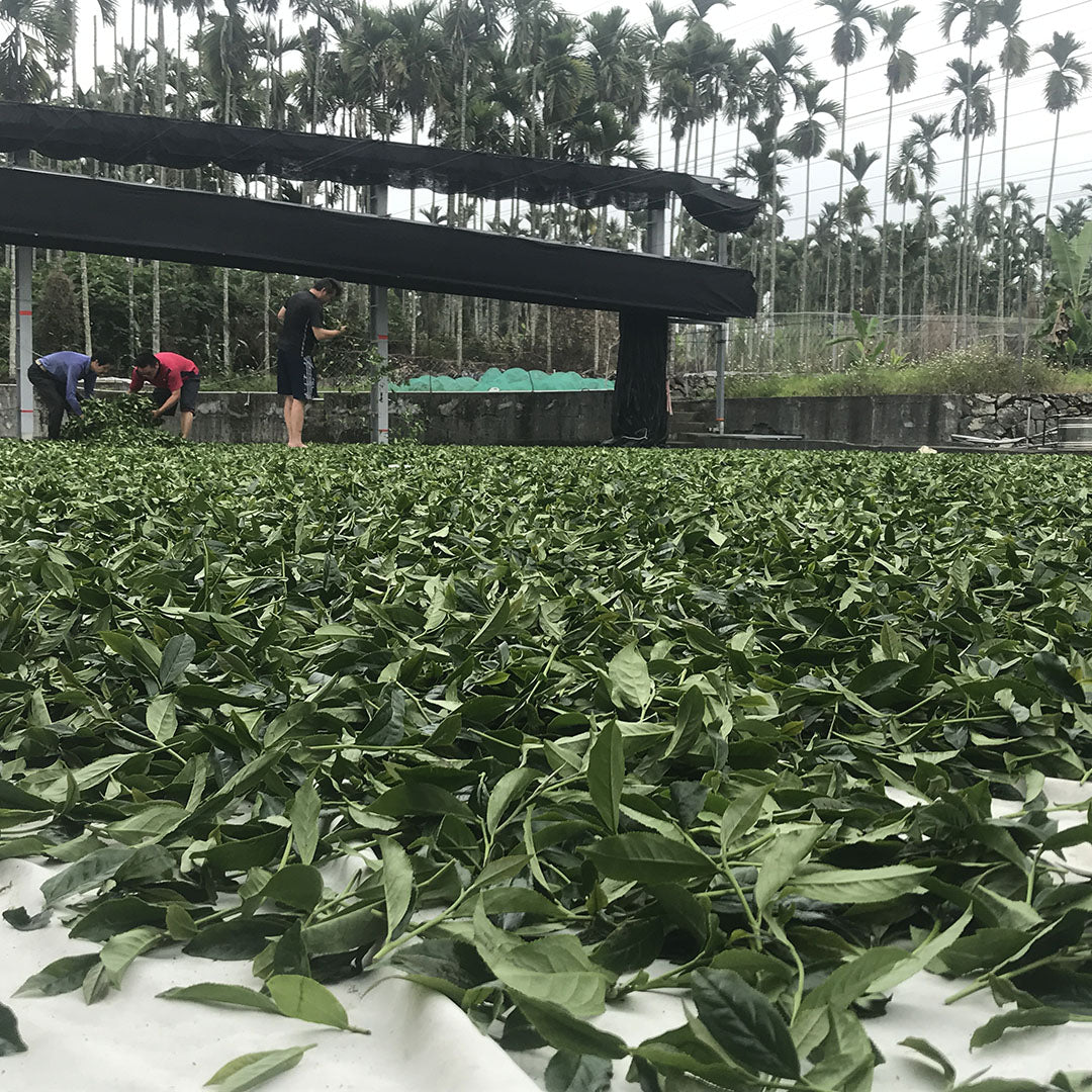 Shan Lin Xi High Mountain Oolong Tea leaves processing