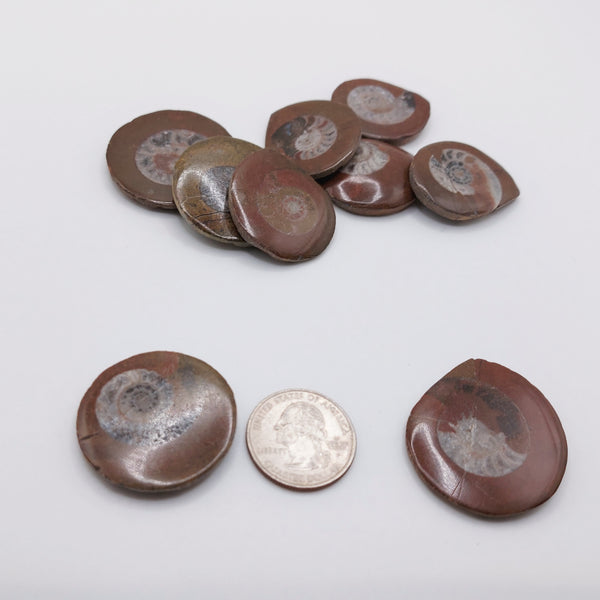 NEW!! Ammonite Fossil Buttons