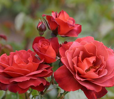 Rosa Hot Chocolate - Shrub/Hybrid Tea