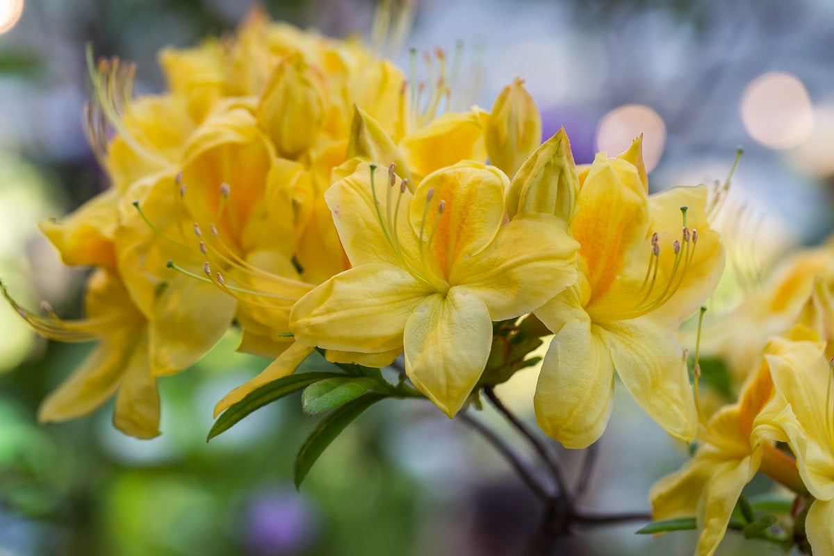 Rhododendron Golden Sunset