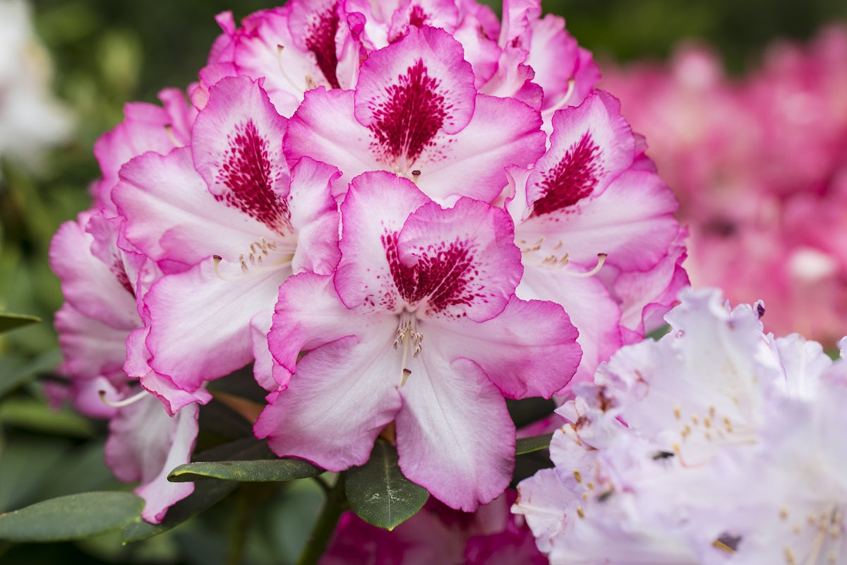 Rhododendron Sorte Hachmanns Charmant