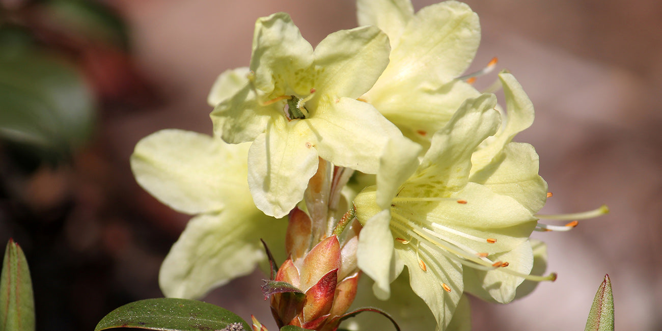Rhododendron Stadt Westerstede Blüte