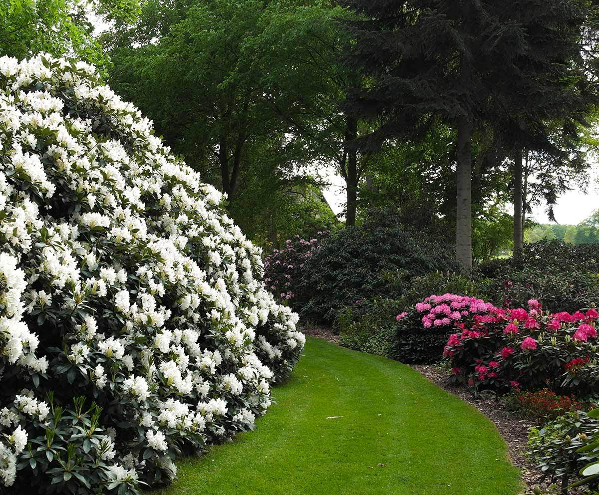 Rhododendron Cunnighams White