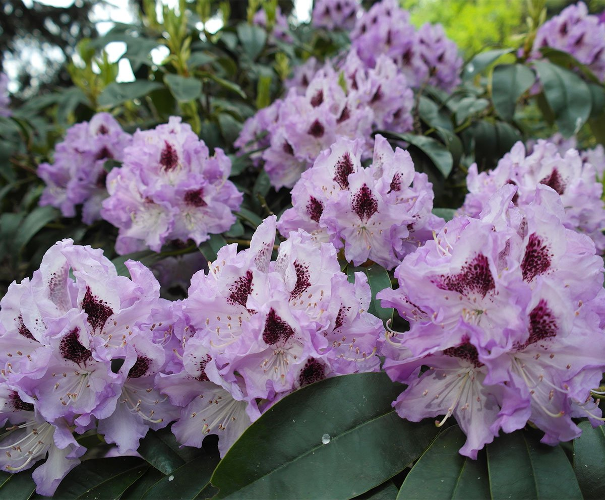 Rhododendron Blue Peter Blüte