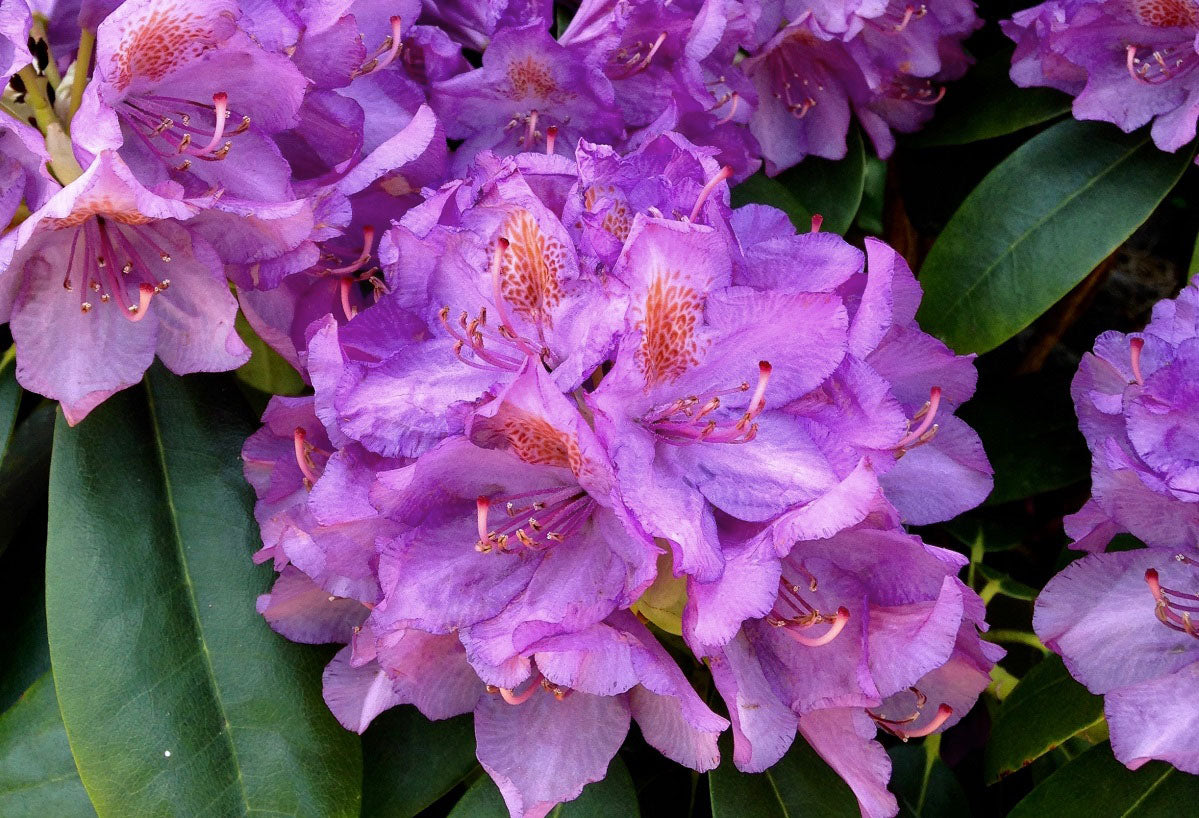 Rhododendron Sorte Alfred