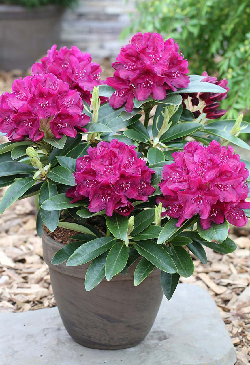Rhododendron Sorte Old Port