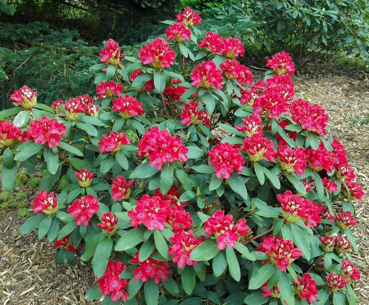 Rhododendron Roter Stern Strauch