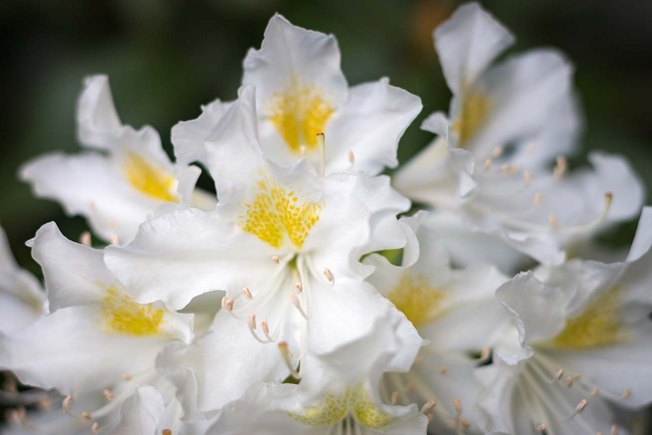 Rhododendron Cunninghams White Blüte