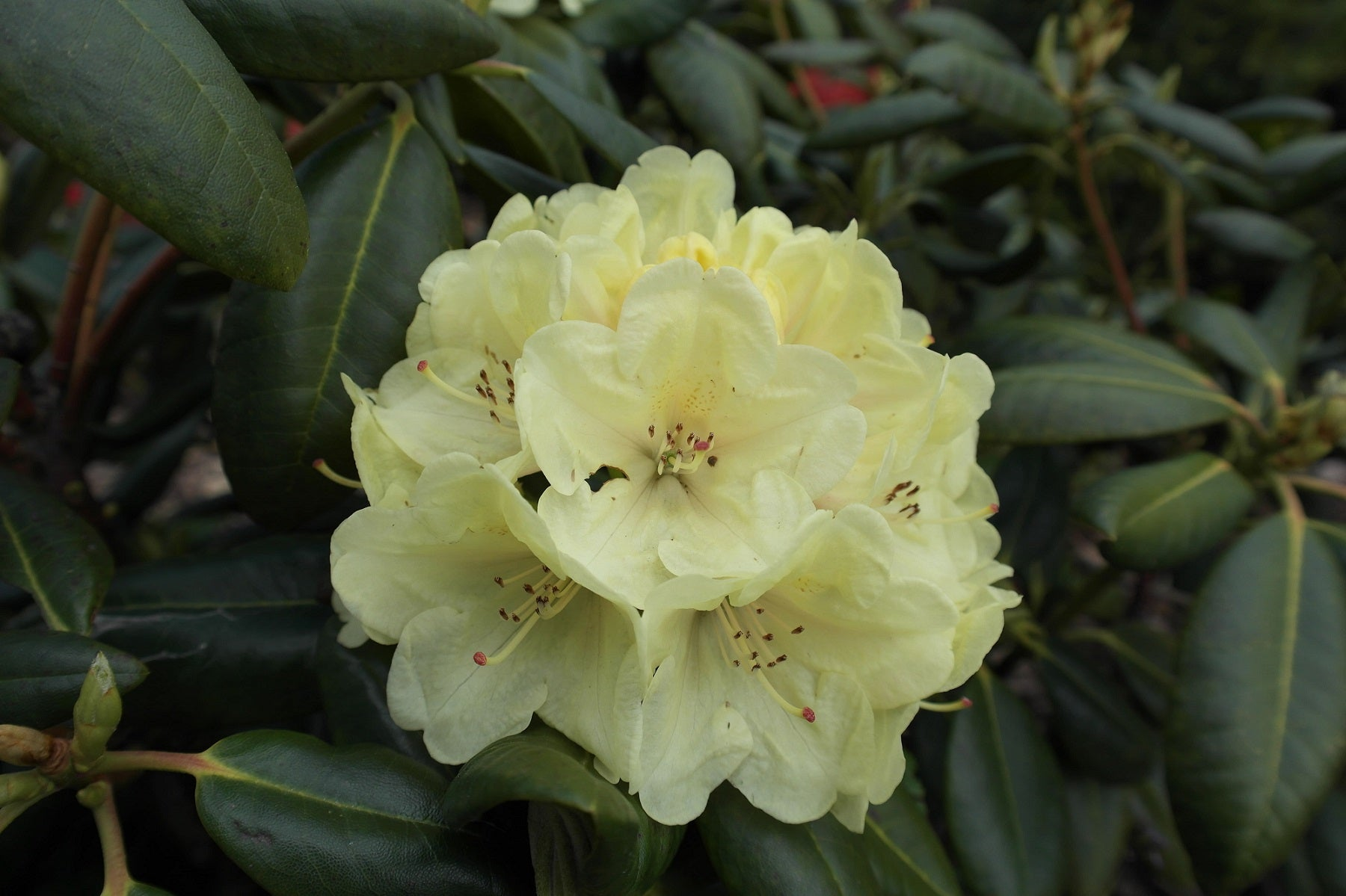 Rhododendron Blüte Bohlkens Laura