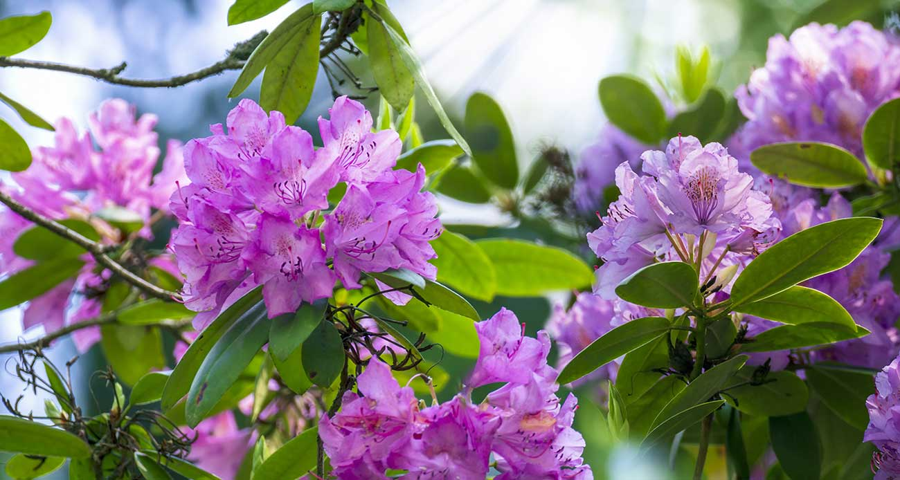 Rhododendron Furnivalls Daugther