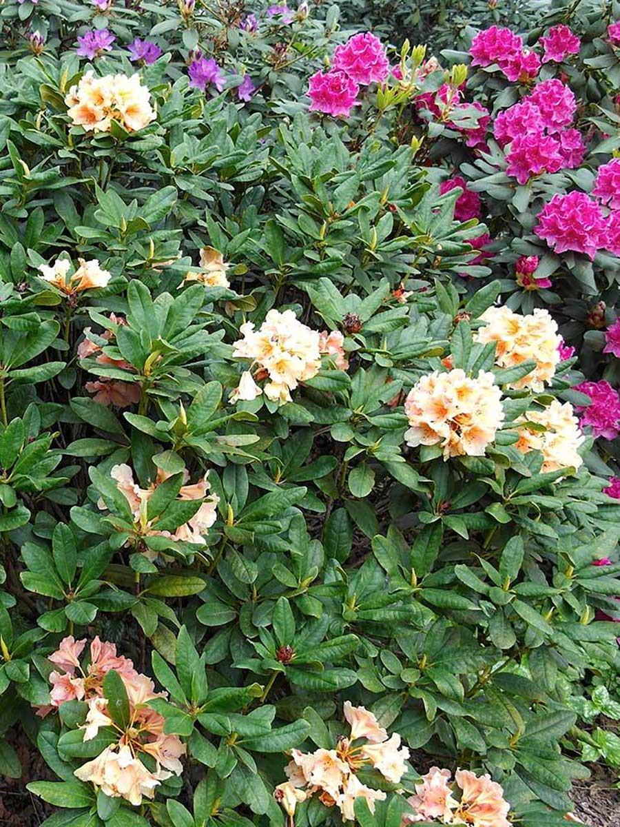 Rhododendron Norfolk Candy