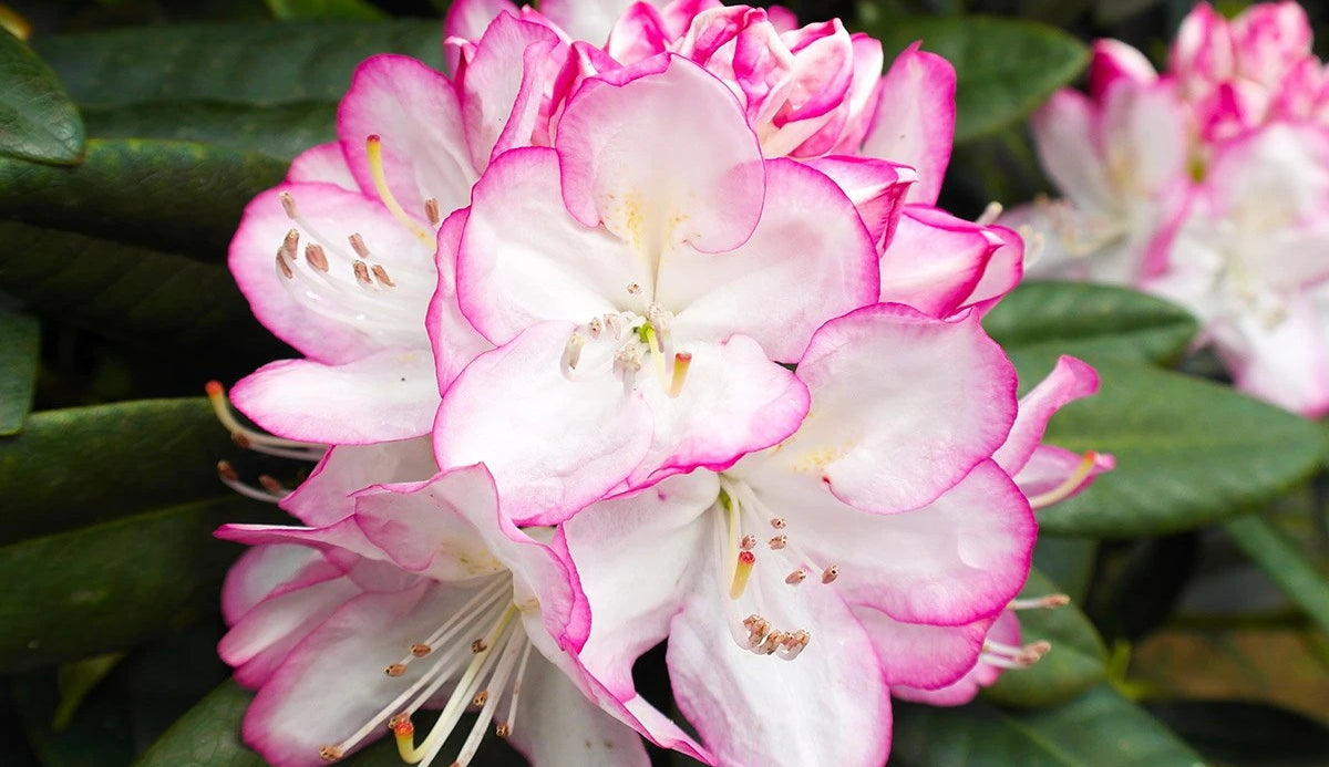 Rhododendron Picotee Blüte