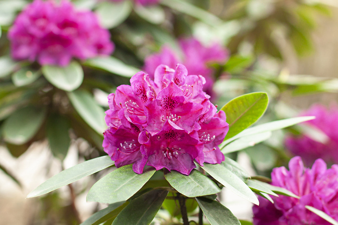 Old Port Rhododendron Sorte