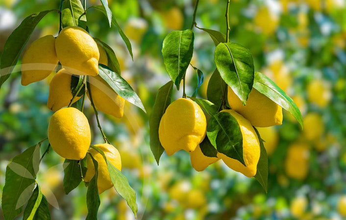 Ripe lemons in a lemon tree ready to be harvested for health & healing benefits