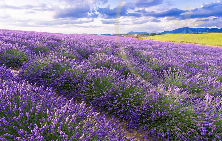 The amazing healing benefits of Lavender
