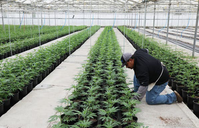 GREENHOUSE_GROWN_HEMP