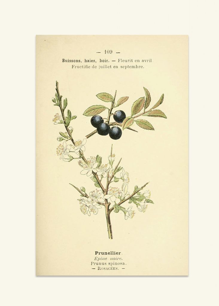 Botanical Prints - Prunellier