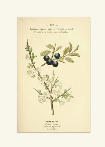 Botanical Prints - Spring - Prunellier