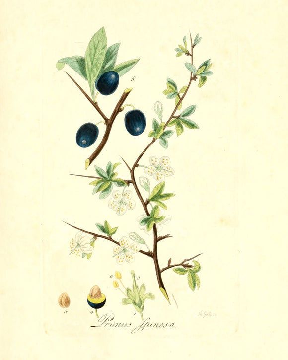 Botanical Print - Prunus Spinosa