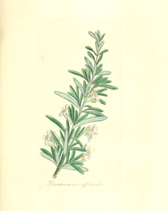 Botanical Print - Rosemary