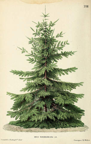 Botanical Print | Fir Tree