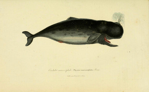 Physeter Whale - Print