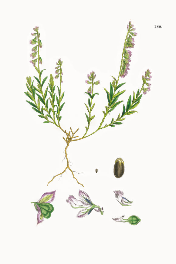 Fresh Botanical Print - Common Milkwort