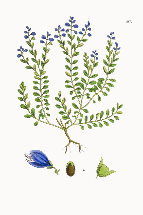 Fresh Botanical Print - Lesser Common Milkwort
